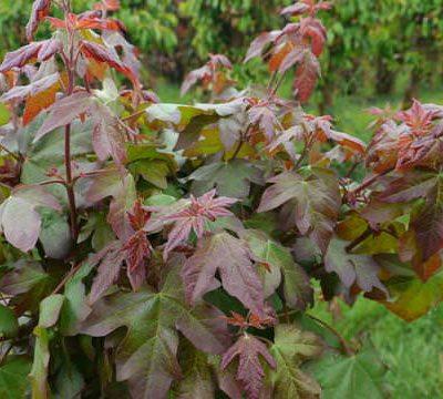 rboles ornamentales viveros escalante