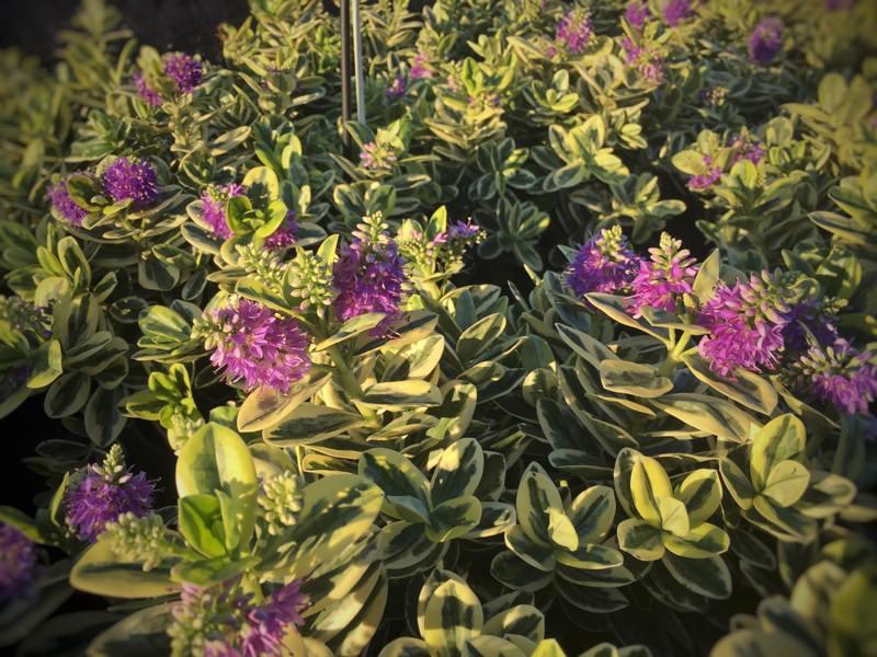 Hebe x andersonii variegata viveros escalante for Hebe arbusto