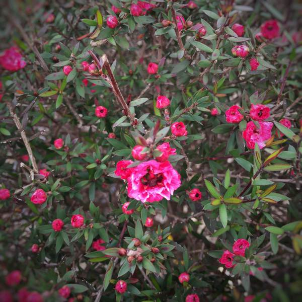 Leptospermum scoparium viveros escalante for Viveros escalante