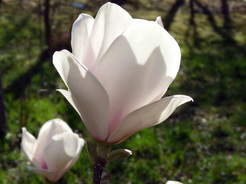 Magnolia h brida sayonara viveros escalante for Vivero las magnolias