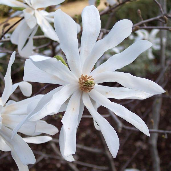 Magnolia stellata viveros escalante for Vivero las magnolias