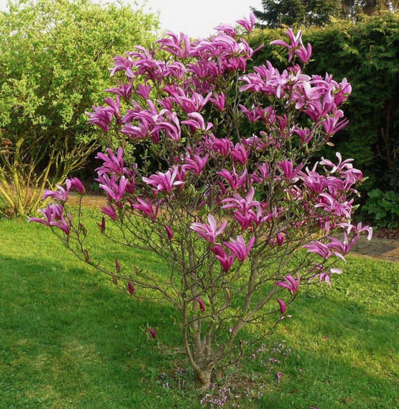Magnolia susan viveros escalante for Vivero las magnolias
