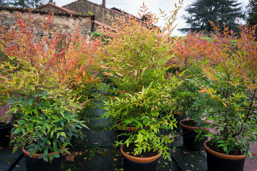 Nandina dom stica viveros escalante for Viveros escalante