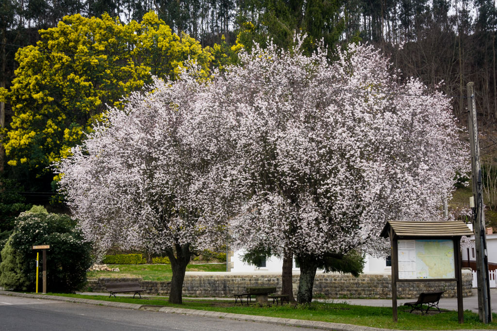 Rboles ornamentales viveros escalante for Viveros arboles ornamentales